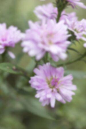 hybrida: pink flowers