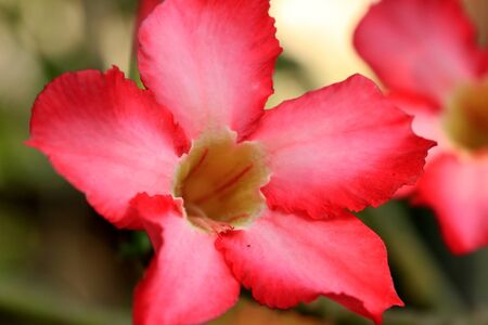 obesum balf adenium: Impala lily adenium - pink flowers