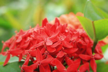 descriptive colours: Ixora flowers - red flower Stock Photo