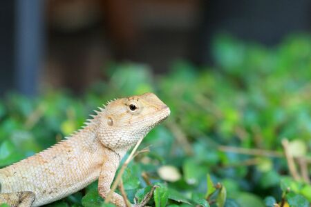 species of creeper: Brown thai lizard