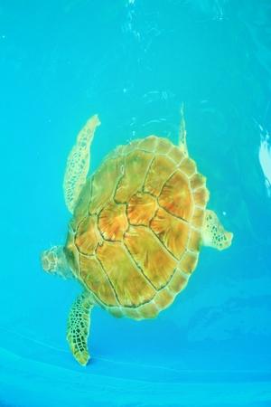 swimming in the sea: Sea Turtle
