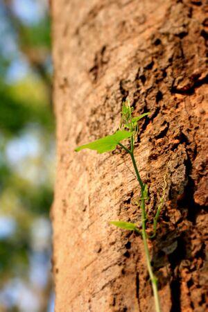 Ivy Gourd photo