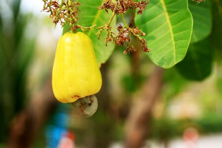 cashew tree: cashew nut on tree Stock Photo