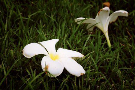 frangipani flower on tree
