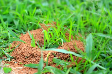 Ants nest with green grass