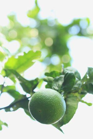 Lemon on the tree 写真素材