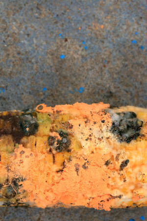 infect: orange moldy of rotten corn Stock Photo
