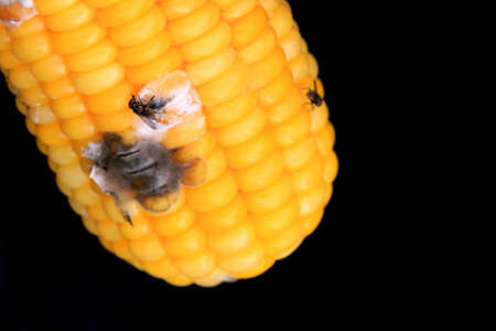 infect: Corn rotten on black background
