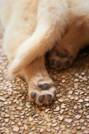 cuddly baby: Labrador puppy