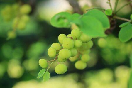 gooseberry: Star gooseberry fruit