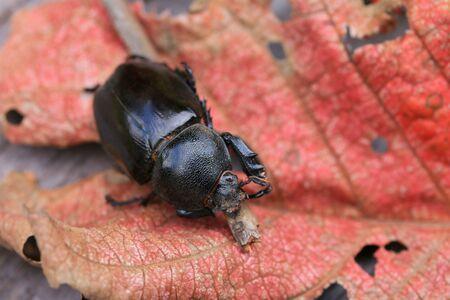 dung: Dung Beetle