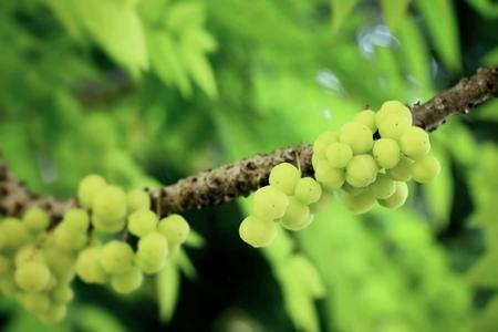 gooseberry: fruta de la grosella espinosa de la estrella