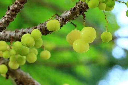grosella: fruta de la grosella espinosa de la estrella