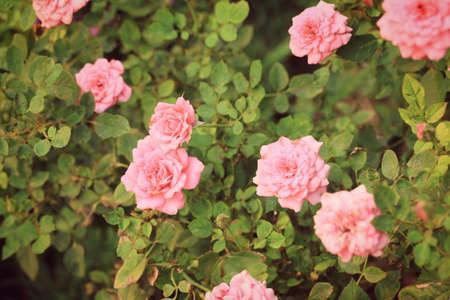 beautiful rose: beautiful rose