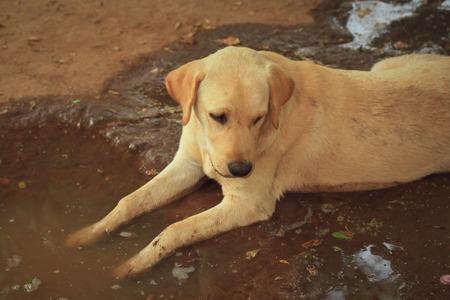 clone: Labrador dog dip clone Stock Photo