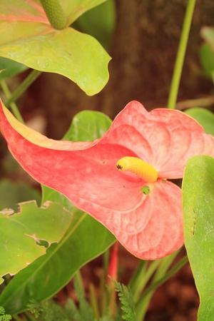 anthurium: pink anthurium andreanum - flamingo lily