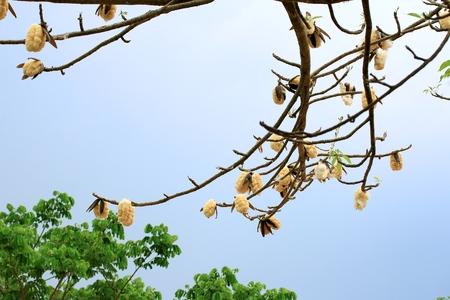cotton tree Stock Photo