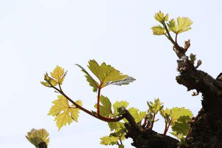 white wine: Grape leaves Stock Photo
