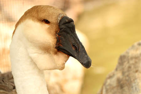 white headed: goose Stock Photo