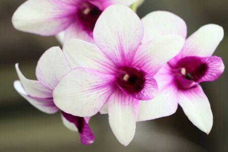 phalaenopsis: Orchid