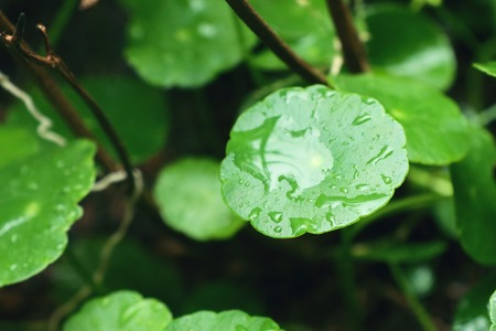 Asiatic leaf with water drop