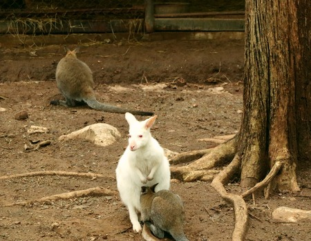 White Kangaroo in the wild