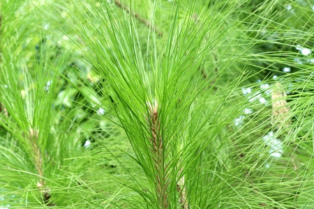 Pine tree in nature Stock Photo