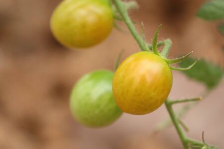 Branches of cherry tomato