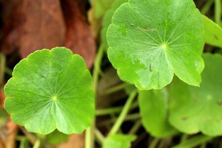 natue: Asiatic leaf in natue Stock Photo