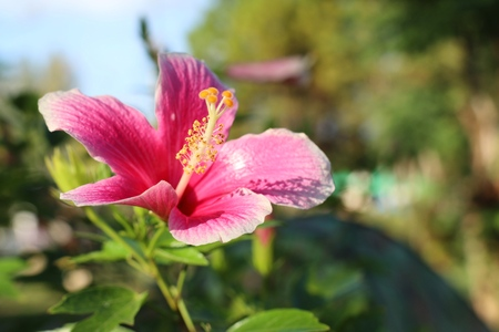 hibiscus flowers in tropical