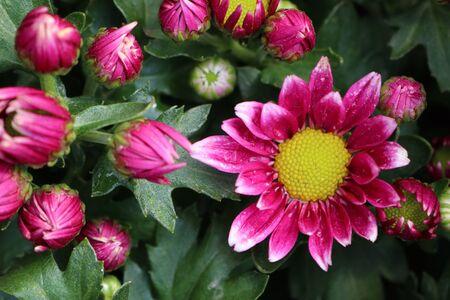 Flor del crisantemo en tropical Foto de archivo - 94009060