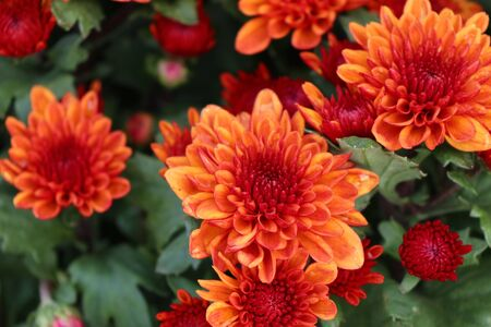 Chrysanthemum flower in tropical