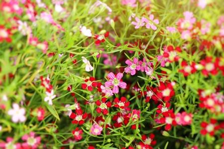 Gypsophila flower in tropical