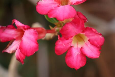 Azalea flowers in tropical