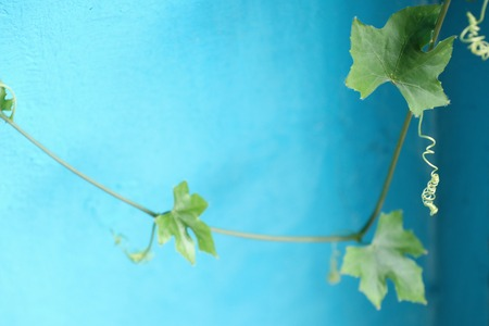 Ivy gourd blue background Stock Photo