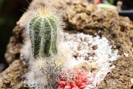 Beautiful cactus in tropical