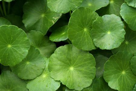 Asiatic leaf in natue Foto de archivo