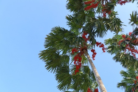 Betel palm on tree Stock Photo