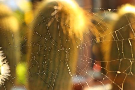 spider webs on cactus 版權商用圖片