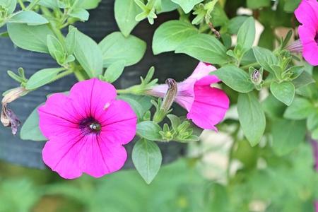 Petunia flowers in tropical
