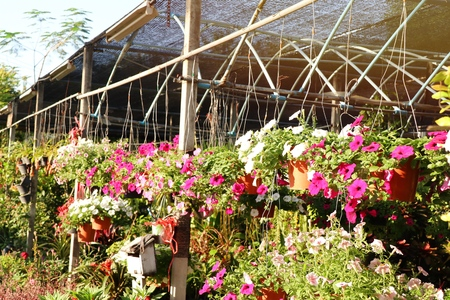 Shop sell petunia flowers for garden