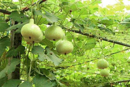 Calabash bottle gourds on a vine