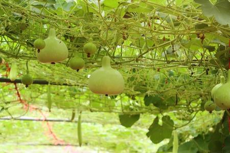 Calabash bottle gourds on a vine Imagens