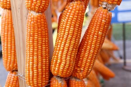 Dry cob corn hanging Standard-Bild