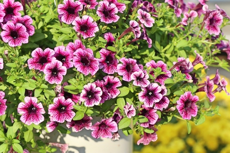 Petunia flowers for sale Standard-Bild
