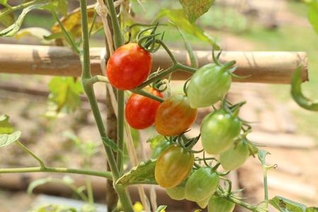 Branches of cherry tomato