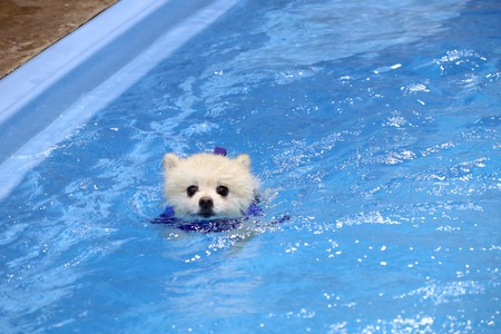 Pomeranian dog swimming in the pool