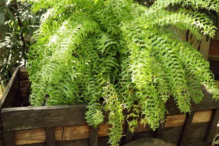 Green fern for decorating garden 版權商用圖片