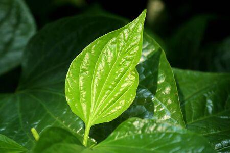 Green leaves in the tropical 版權商用圖片