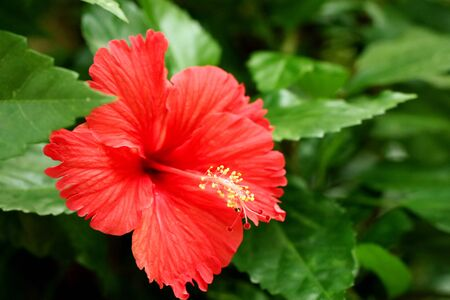 Hibiscus flowers in the tropical